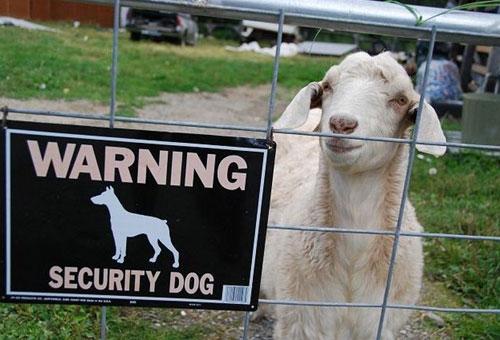 funny-goat-3